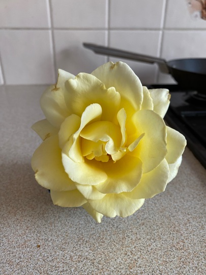 My yellow rose , it was broken so I put in vase