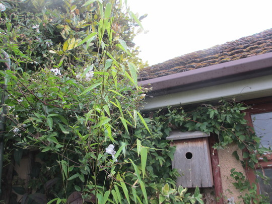 Black Stemmed Bamboo (For my File) (Phyllostachys nigra (Black bamboo))