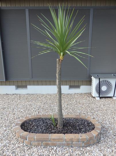 Cordyline Australis August 2020 (Cordyline australis (New Zealand cabbage palm))