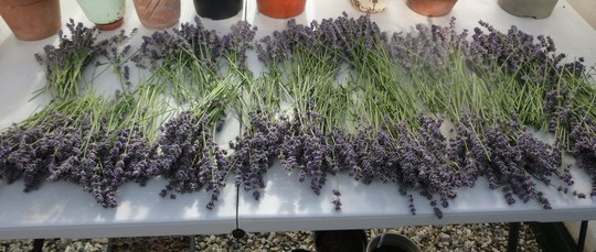 Lavender drying off