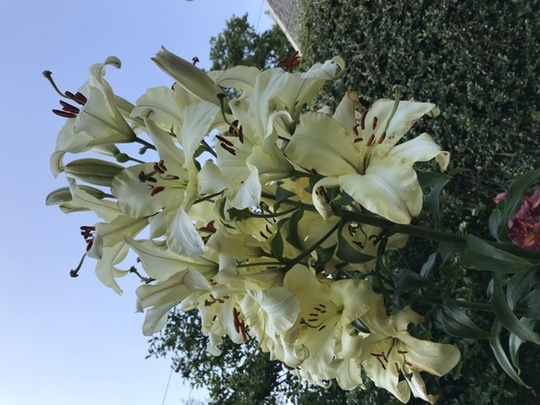Tree Lily (Lily)