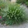 Pennisetum alopeculoides 'Hameln' - 2020 (Pennisetum alopecuroides 'Hameln')