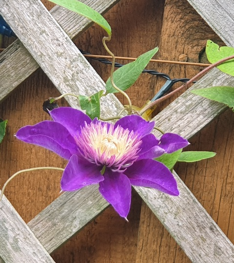Clematis Multy Blue