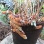 Rabbits foot fern.  Or some furry creature. (Phlebodium aureum.)