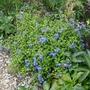 Ceratostigma willmottianum 'Forest Blue' - 2020 (Ceratostigma willmottianum)