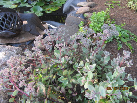 0367 1 Sedum in the pond bed