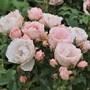 Rose_lovely_bride_