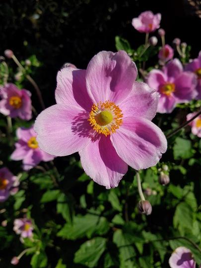 Japanese anemone. (Anemone hupehensis (Japanese anemone))