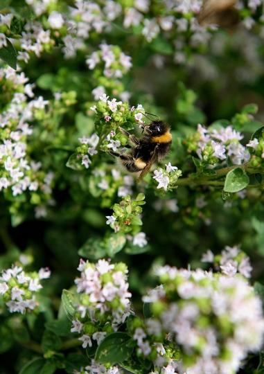 Bee buzzing around some Thyme (Thymus praecox (Creeping Thyme))