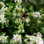 Bee buzzing around some Thyme (Thymus praecox (Creeping Thyme))