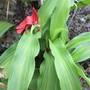 Roscoea Red Gurka (Roscoea purpurea)