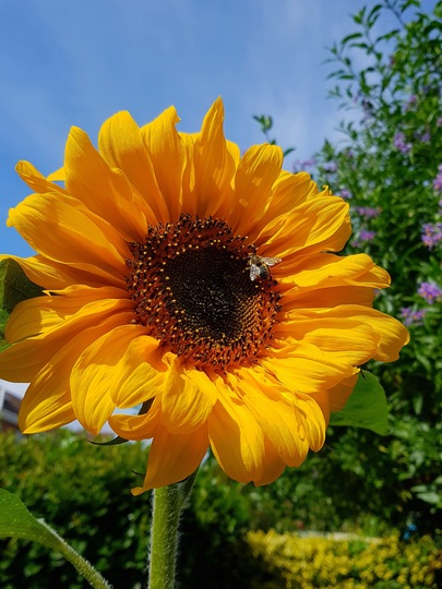 My one and only sunflower opened up at last! (Helianthus annuus (Sunflower)lower)
