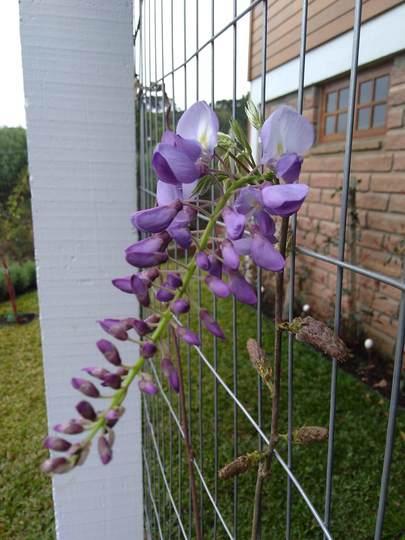 Spring is comming to town :) (Wisteria floribunda (Japanese Wisteria))