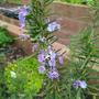 Rosemary Flowers (Rosmarinus officinalis (Rosemary))