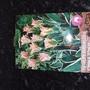 Viridiflora china Town tulips.