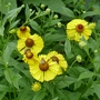 Helenium_bressingham_gold_2020
