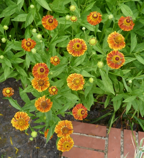 Helenium 'Chipperfield Orange' - 2020 (Helenium)