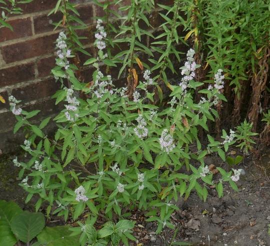 Caryopteris x clandonensis 'Stephi' - 2020 (Caryopteris x clandonensis)
