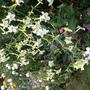Nicotiana sylvestris (Nicotiana sylvestris (Tobacco plant))