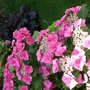 Hydrangea macrophylla (Hydrangea macrophylla (Hortensia))