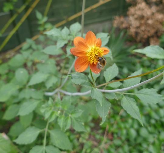 Dahlia coccinea Wild Form - 2020 (Dahlia coccinea)