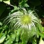 Silky seedhead
