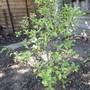 Pittosporum tenuifolium 'Arundel Green' (Pittosporum tenuifolium (New Zealand Pittosporum))