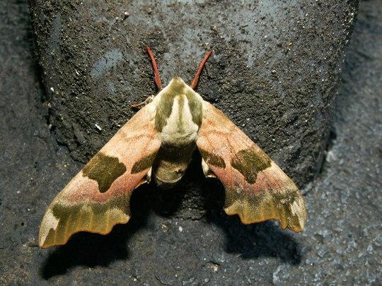 moth Lime hawk