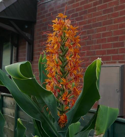 Hedychium 'Tara' - 2020 (Hedychium 'Tara')