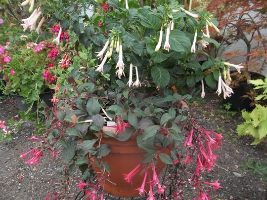 Fuchsia 'Jasper's Unbelievable' and 'Fuchsia Eruption' (trailing)
