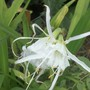 Hymenocallis or Spider Lily