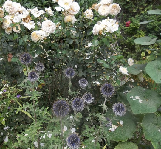 Roses and Echinops