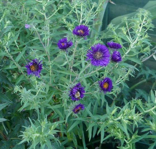 Aster novae-angliae 'Violetta' - 2020 (Aster novae-angliae)