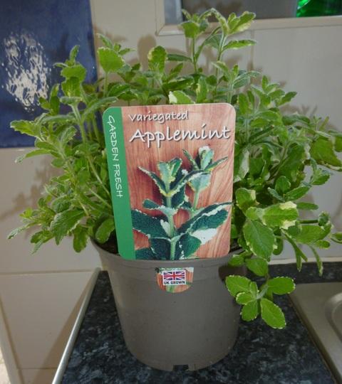 Apple Mint Variegated (Mentha suaveolens (Apple mint))