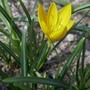 Sternbergia lutea - 2020 (Sternbergia lutea)