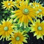 coneflower prairie sun (Rudbeckia)