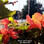 Begonia_red_on_balcony_10th_august_2020