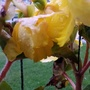 Begonia (yellow) flowers with raindrops on balcony 19th August 2020 (Begonia)