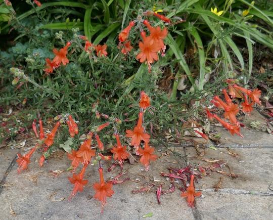 Zauschneria californica 'Dublin' - 2020 (Zauschneria californica)