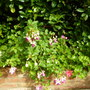 Trailing Fuchsia