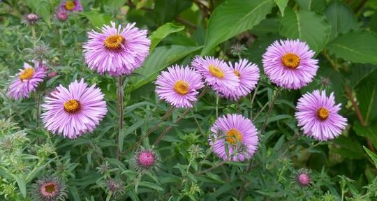 Aster novae-angliae 'Harrington's Pink' - 2020 (Aster novae-angliae)