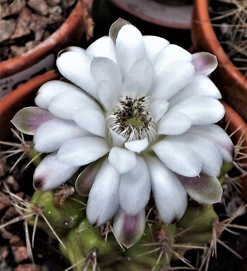Flowering cactus - Gymnocalycium damsii