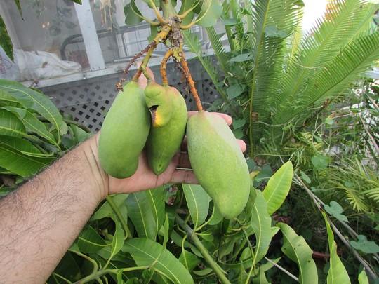 Its Mango season. Doc. (Mangifera indica (Mango))