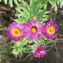 Aster novae-angliae 'Primrose Upward' - 2020 (Aster novae-angliae)