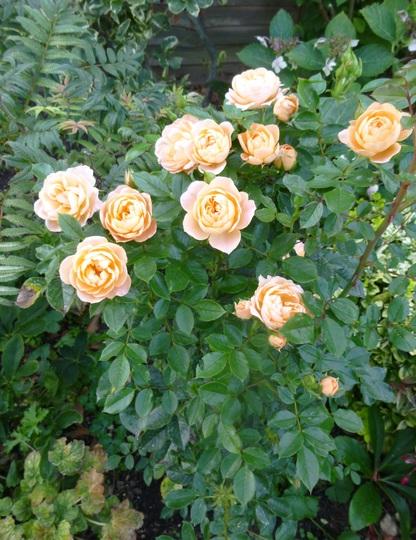 Rose Peach Patio