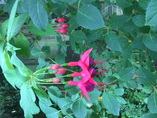 Fuchsia 'Mrs Popple' (Fuchsia)