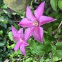 Clematis 'Sally' (Clematis)