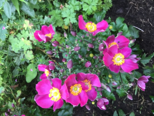 Anemone 'Fantasy Red Riding Hood' (Anemone japonica)