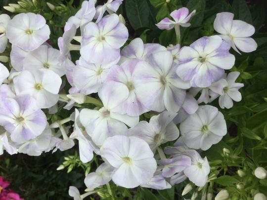 Phlox paniculata 'Famous' (Phlox paniculata (Perennial phlox))