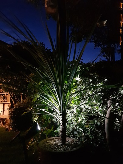 Cordyline lit up in the late evening. (Cordyline australis (New Zealand cabbage palm))